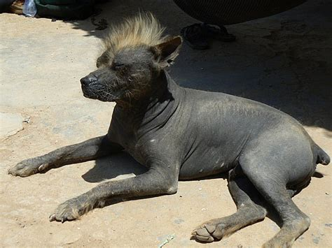 hairless dog breeds mans  naked friends