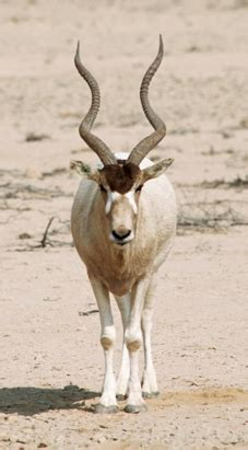addax hunt  moody texas hunting guide services