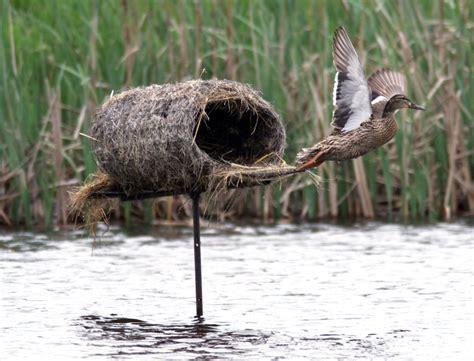 mallard duck house plans