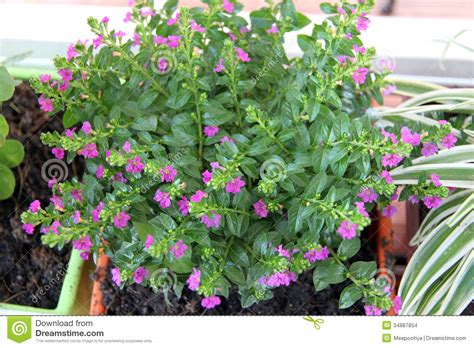 tree with small purple flowers tree in potted with small purple flowers stock images image 34887854