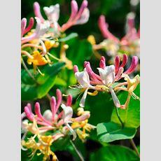 Tgg's Fav Fragrant Flowers  The Garden Glove