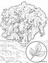 Elm Coloring Tree Ausmalbilder Ulme Malvorlagen Ausdrucken Kostenlos Zum sketch template