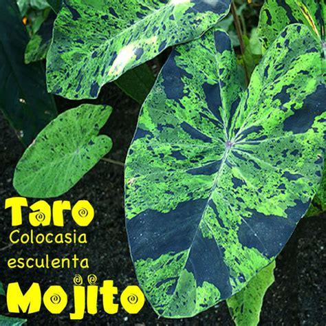 variegated elephant ear plant mojito taro colocasia esculenta variegated camo elephant ear potd sml plant ebay