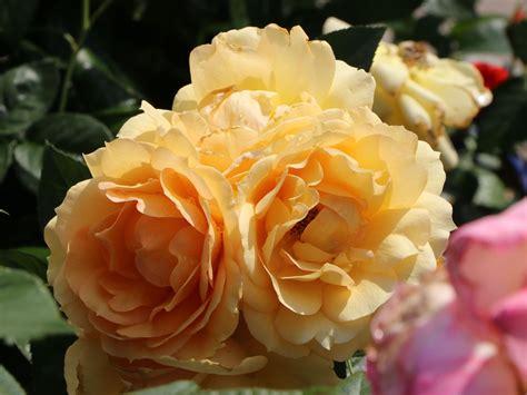 beetrose hansestadt rostock rosa hansestadt rostock
