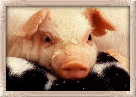 schweine animierte bilder gifs animationen cliparts