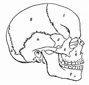 What Are The Different Types Of Bones Present In The Skull