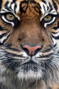 Bengal Tiger Face