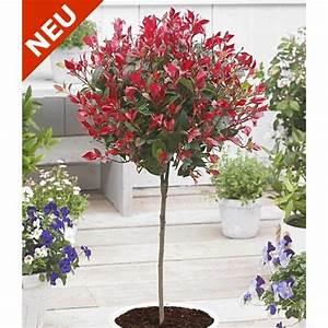 Red Robin Baum : immergr nes photinia st mmchen 39 little red robin 39 1 pflanze baldur garten gmbh g stehaus ~ Frokenaadalensverden.com Haus und Dekorationen