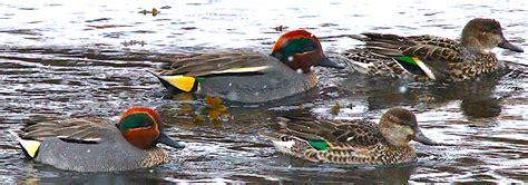Aleutian Teal Hunting Alaksa Duck Hunting Guides