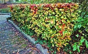 Comment Tailler Une Haie De Laurier : taille des arbustes quand et comment tailler les arbustes ~ Melissatoandfro.com Idées de Décoration