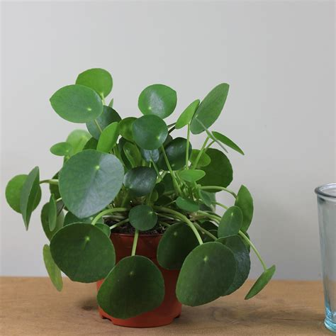 money plant buy chinese money plant missionary plant pilea peperomioides delivery by crocus