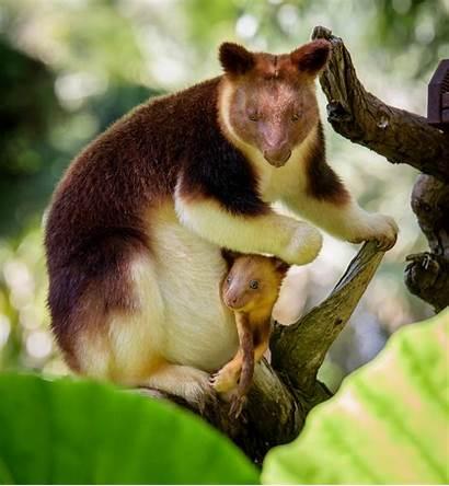 Zoo Pouch Perth Kangaroo Tree Asbury Alex