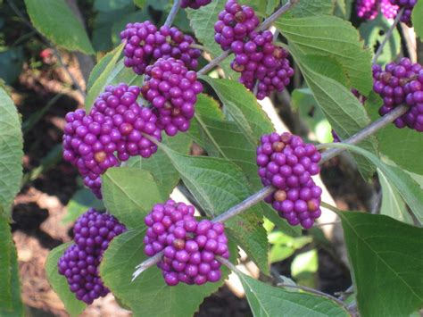 shrubs with purple berries image gallery purple berries