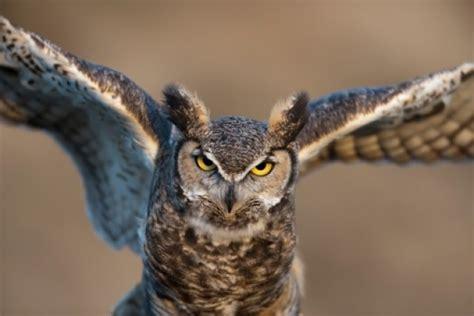 owls attack boxer saves tiny dog  rare aerial