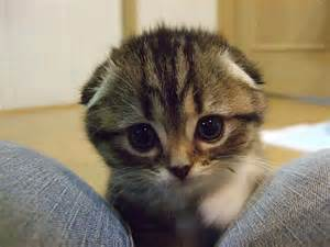 cutest cats in the world 5 9 8 jpg scottish fold cat and animal
