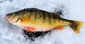 Ice Fishing For Perch Hot At Holter Lake