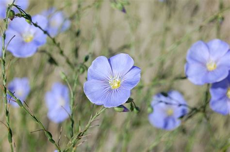 filelinum lewisii blue flax flower albuquerquejpg