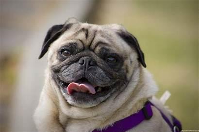 Pug Funny Wallpapers Dog Desktop