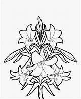 Coloring Easter Flower Pages Lily Spring Flowers Lilies Adult Printable Drawing Outline Simple Colouring Sheets Realistic Adults Sheet Lillies Quotes sketch template