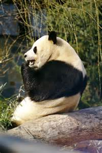 Giant Panda Side View