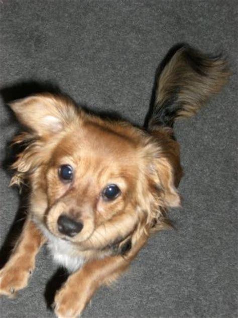 dachshundpomeranian mix  thriftyfun