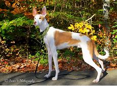 Ibizan Hound Breed Guide Learn about the Ibizan Hound