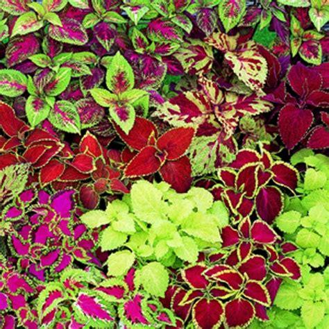 buy coleus plants buy coleus fairway mixed mini plugs babyplants