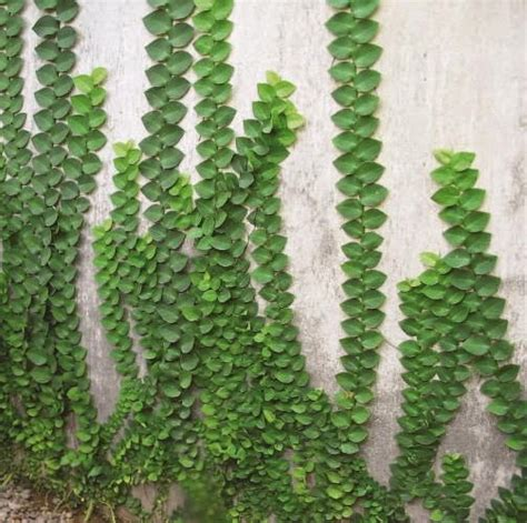 jual pohon dollar jenis tanaman rambat pohon dolar