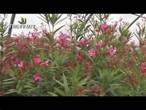 Laurier Rose Entretien : laurier rose plantation et entretien jardinerie ~ Melissatoandfro.com Idées de Décoration