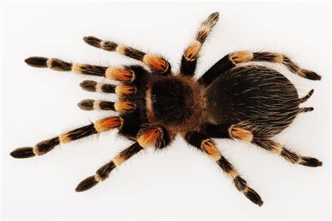 pet tarantula 5 questions to ask yourself before getting a pet tarantula