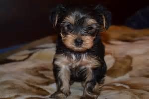 Black Fox Terrier Puppies