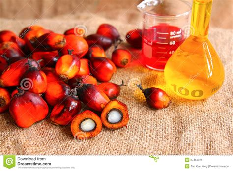 oil palm fruits  palm oil stock image image