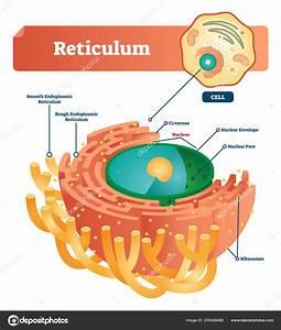 Smooth Endoplasmic Reticulum Picture