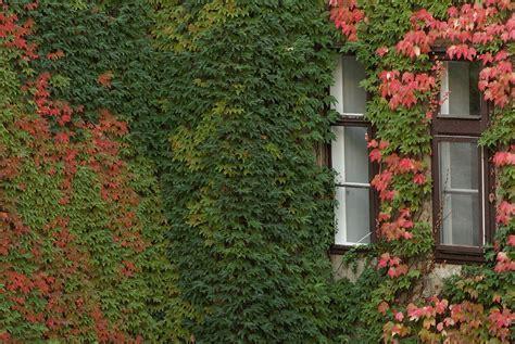 Efeu Schnell Wachsende Sorte by How To Grow Boston Grow Boston Gardneing With