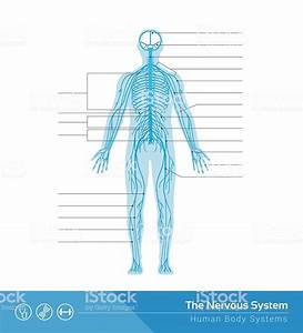The Nervous System Stock Vector Art  U0026 More Images Of