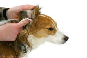Dog Ear Cleaning