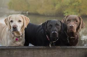 Study  Chocolate Labradors Have A Significantly Lower