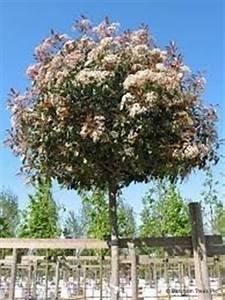 Red Robin Hochstamm : shop b ume bonsai pflanzendiscount schweiz thuja ~ Michelbontemps.com Haus und Dekorationen