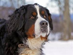 Bernese Mountain Dog Mix – Animal Hearted Apparel