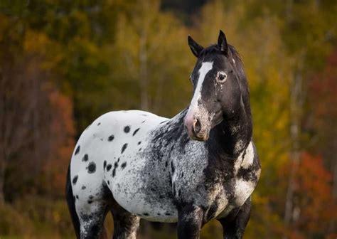 appaloosa horse stallion spot spots coat genetics canada equine ihearthorses baby shutterstock