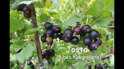 Josta (Ribes nidigrolaria) - YouTube
