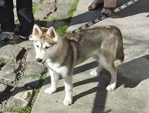 Wolf Husky Mix Puppies