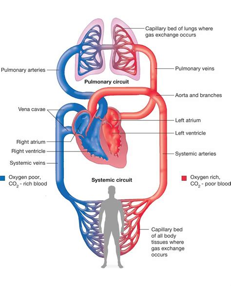 human circulatory system diagram  systemic