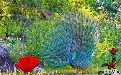 Peacock Picmix