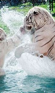 40 best fierce (white tigers) images on Pinterest | White ...