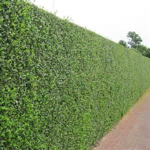Privet Hedge Plant
