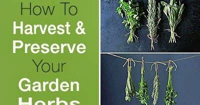 how to harvest herbs how to harvest and preserve your garden herbs gardening things