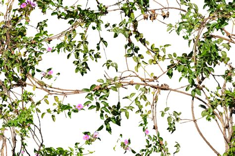 Vines Png Free Icons And PNG Backgrounds