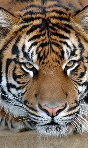 The Sumatran tiger – smallest tiger | DinoAnimals.com