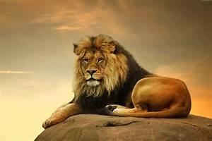 Wallpaper Lion, savanna, cute animals, Animals #4506